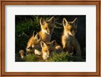 Red Fox Kits Fine-Art Print