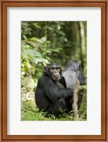 Uganda, Kibale National Park, Young Male Chimpanzee Fine-Art Print
