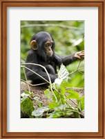Uganda, Kibale National Park, Infant Chimpanzee Fine-Art Print