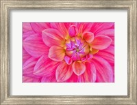 Cerise-Pink Dahlia Flower Fine-Art Print