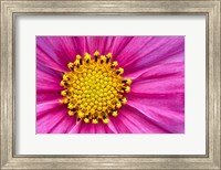Pink And Yellow Cosmos Flower Fine-Art Print