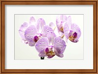 Orchid 1 Fine-Art Print