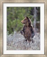 Grizzly Two Year Old Fine-Art Print
