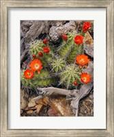 Claret Cup Cactus Fine-Art Print