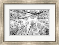 Through The Birch Trees Fine-Art Print