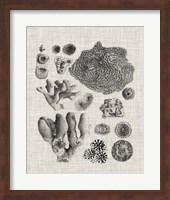 Coral Specimen II Fine-Art Print