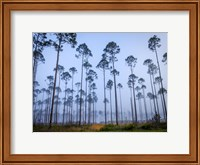 Piney Woods Fine-Art Print