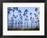 Piney Woods Fine-Art Print