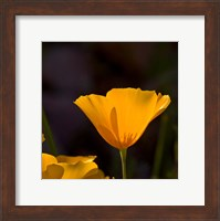 Wildflowers Poppy Arizona 1 Fine-Art Print