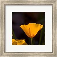 Wildflowers Poppy Arizona 1 Fine-Art Print