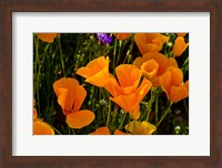 Wildflowers Poppy Arizona 2 Fine-Art Print