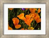 Wildflowers Poppy Arizona 2 Fine-Art Print