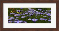 Field Of Asters Colorado Mtns Fine-Art Print