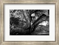 Sedona Juniper Tree Fine-Art Print