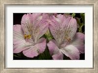Pink Alstroemerias 4 Fine-Art Print